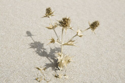 Turkey, Izmir, View of dead thistle plant in sand - HKF000291