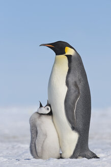 Antarctica, Antarctic Peninsula, Emperor penguin with chick on snow hill island - RUEF000527