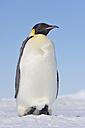 Antarctica, Antarctic Peninsula, Emperor penguin standing on snow hill island - RUEF000528