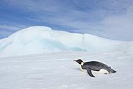 Antarctica, Antarctic Peninsula, Emperor penguins lying on snow hill island - RUEF000485