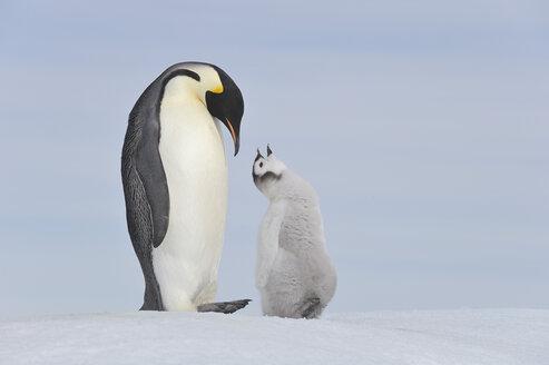 Antarctica, Antarctic Peninsula, Emperor penguin with chick on snow hill island - RUEF000493