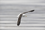 South America, Argentina, Ushuaia, Tierra Del Fuego, Kelp gull flying over water - RUEF000522