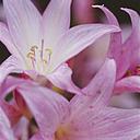 Germany, Belladonna lily, close up - WBF000159