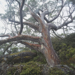 Australia, Tasmania, View of tree in rainforest - WBF000128