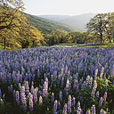 New Zealand, View of lupines in a meadow - WBF000240