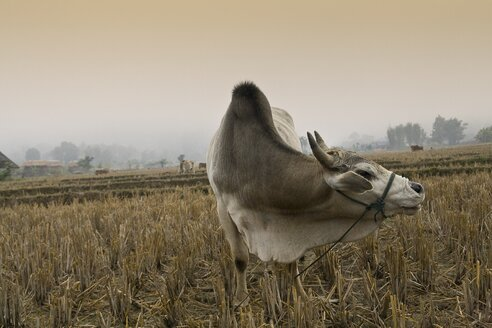 Thailand, Pai, View of cattle in field - HKF000326