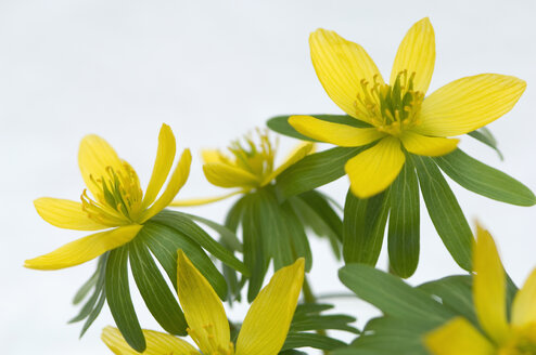 Germany, Bavaria, Winter aconite in garden, close up - CRF001969