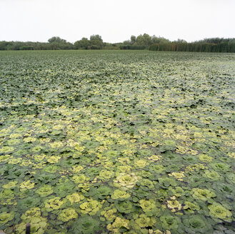 Romania, Danube Delta, green water lilies on pond - PMF000864
