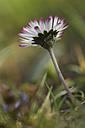 Germany, Bavaria, Daisy in garden, close up - CRF001986