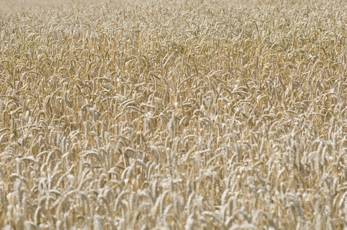 Germany, Bavaria, View of wheat and corn field - CRF002013