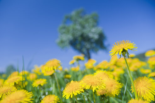 Germany, View of dandelion with apple tree in background - SMF000629