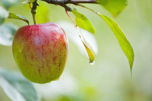 Germany, Deggenhausertal, Branch of apple tree, close up - SMF000631