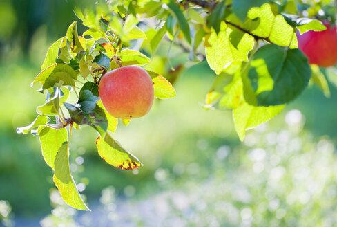 Germany, Deggenhausertal, Branch of apple tree, close up - SMF000633