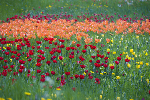 Germany, Baden-Württemberg, Markdorf, View of tulip field - SMF000645