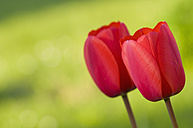 Germany, Baden-Württemberg, Markdorf, Red tulips, close up - SMF000650