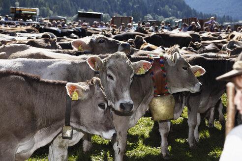 Germany, Bavaria, Swabia, Schwaben, Allgaeu, Ostallgau, Pfronten, Herd of Almabtrieb cattle - SIE000216