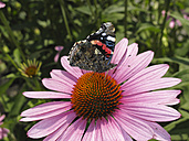 Germany, Bavaria, Red Admiral sitting on purple coneflower - SIEF000282