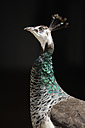 Germany, Peahen, close up - TCF001385