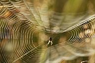Germany, Bavaria, Spider in spider web, close up - SIEF000550