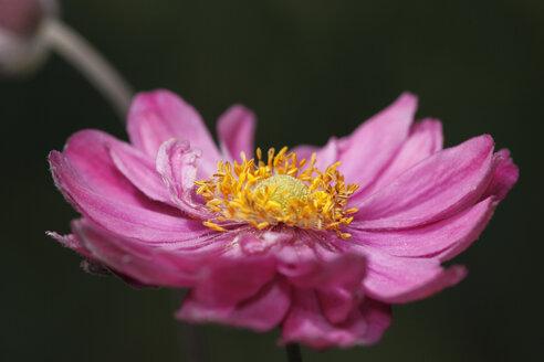 Germany, Bavaria, Chrysantheme in garden, close up - SIEF000553