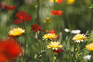 Germany, Pot marigold in garden - SIEF000555