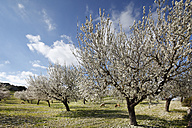 Spain, Balearic Islands, Majorca, Sheep grazing at blooming almond trees - SIEF000626