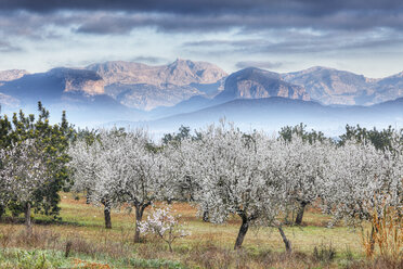 Spain, Balearic Islands, Majorca, View of almond trees with mountains in background - SIEF000642