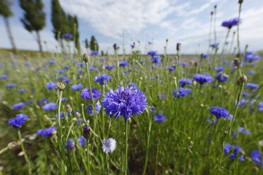 Austria, Lower Austria, Weinviertel, View of cornflower field - SIEF000686