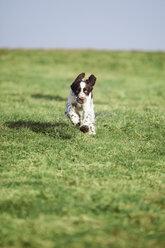 Germany, Bavaria, English Springer Spaniel on grass - MAEF003190