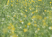 Germany, View of yellow flowers field - WBF000851