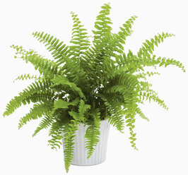 Fern in pot against white background, close up - WBF001195