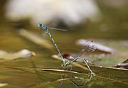 Germany, Bavaria, Azure damselfly in oviposition, close up - SIEF001073