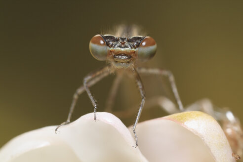 Germany, Bavaria, Azure damselfly, close up - SIEF001074