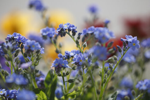 Germany, Bavaria, View of forget-me-not - SIEF001098