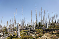 Germany, Bavaria, Lower Bavaria, Forest with dead spruces at bavarian forest - SIE001106