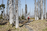 Germany, Bavaria, Lower Bavaria, Forest with dead spruces at bavarian forest, person walking on path - SIE001107