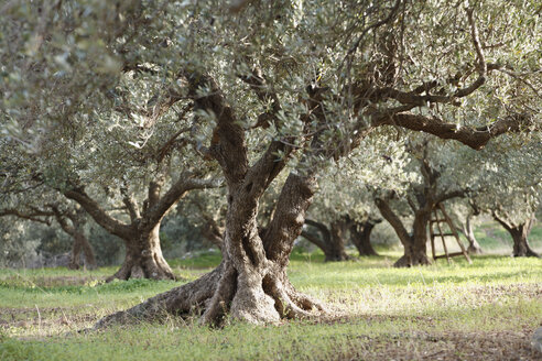 Greece, Crete, Olive tree in olive orchard - SIEF001207