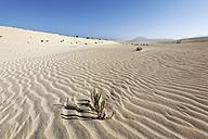 Spain, Canary Islands, Fuerteventura, lonesam plants in dunes of Corralejo - SIEF001252