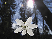 Germany, Bavaria, Close up of wood anemone flower with lens flare - SIEF001359