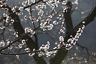 Austria, Lower Austria, Wachau, Branch with apricot blossoms on apricot tree - SIEF001373
