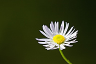 Germany, Close up of german chamomile - FOF003351