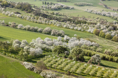 Germany, Bavaria, Franconia, Franconian Switzerland, View of sweet cherry tree blossoms in field - SIEF001406