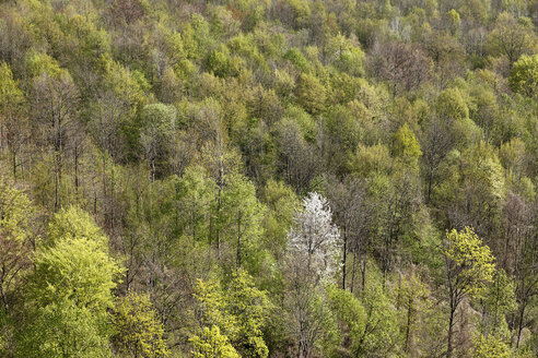 Germany, Bavaria, Franconia, Franconian Switzerland, Walberla, View of deciduous forest on mountain in spring - SIEF001412