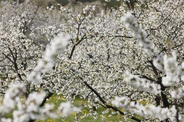 Germany, Bavaria, Franconia, Franconian Switzerland, View of sweet cherry tree blossoms - SIEF001419