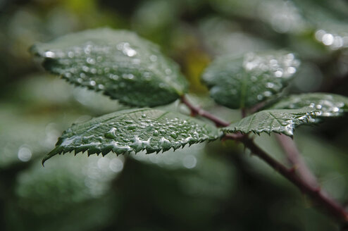 Germany, Bavaria, Close up of wild rose leaves in rain - MOF000156