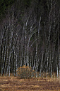 Germany, Bavaria, View of birch trees - MOF000170