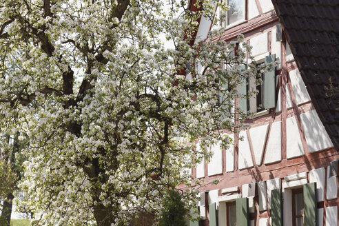 Germany, Bavaria, Franconia, Upper Franconia, Franconian Switzerland, Hetzles, View of blossoms of pear tree near half-timbered house - SIEF001452