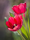 Germany, Close up of red tulips - LFF000279