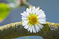 Germany, Bavaria, Close up of daisy on branch - TSF000261