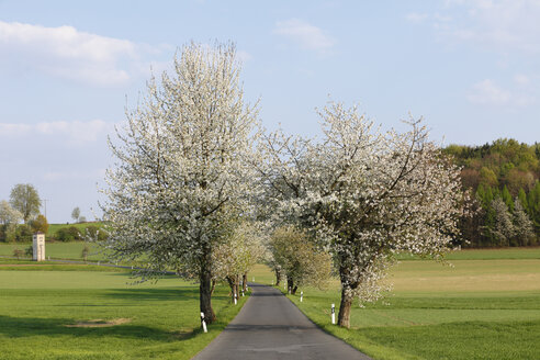 Germany, Bavaria, Franconia, Upper Franconia, Franconian Switzerland, View of empty country road with sweet cherry tree blossoms - SIEF001497